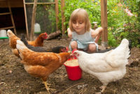 A young girl squats in a henhouse, watching hens eat grain from a bucket.